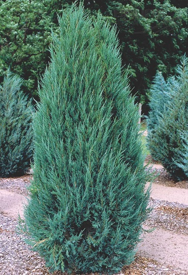 Можжевельник скальный Blue Arrow (Juniperus scopulorum Blue Arrow)